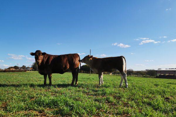 livestock (3)