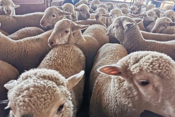 livestock (5)