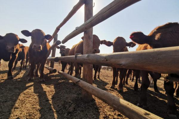 livestock (6)