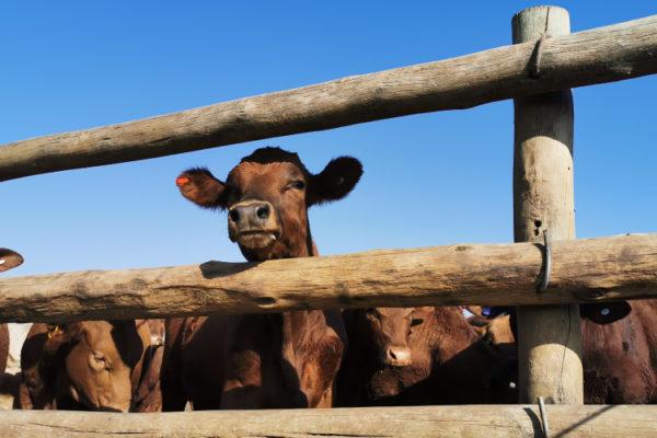livestock (7)